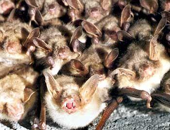 Fledermäuse: Gesellige Tiere paaren sich gern in Gruppen