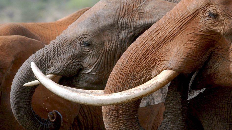 Elefanten trinken im Tsavo-Nationalpark in Kenia