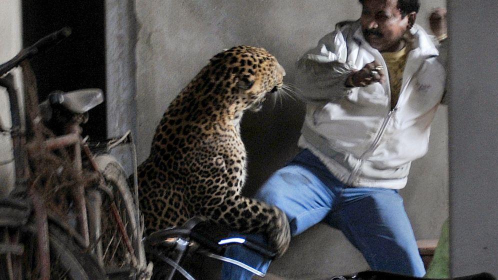 Leoparden-Attacke in Indien: Mensch gegen Kreatur
