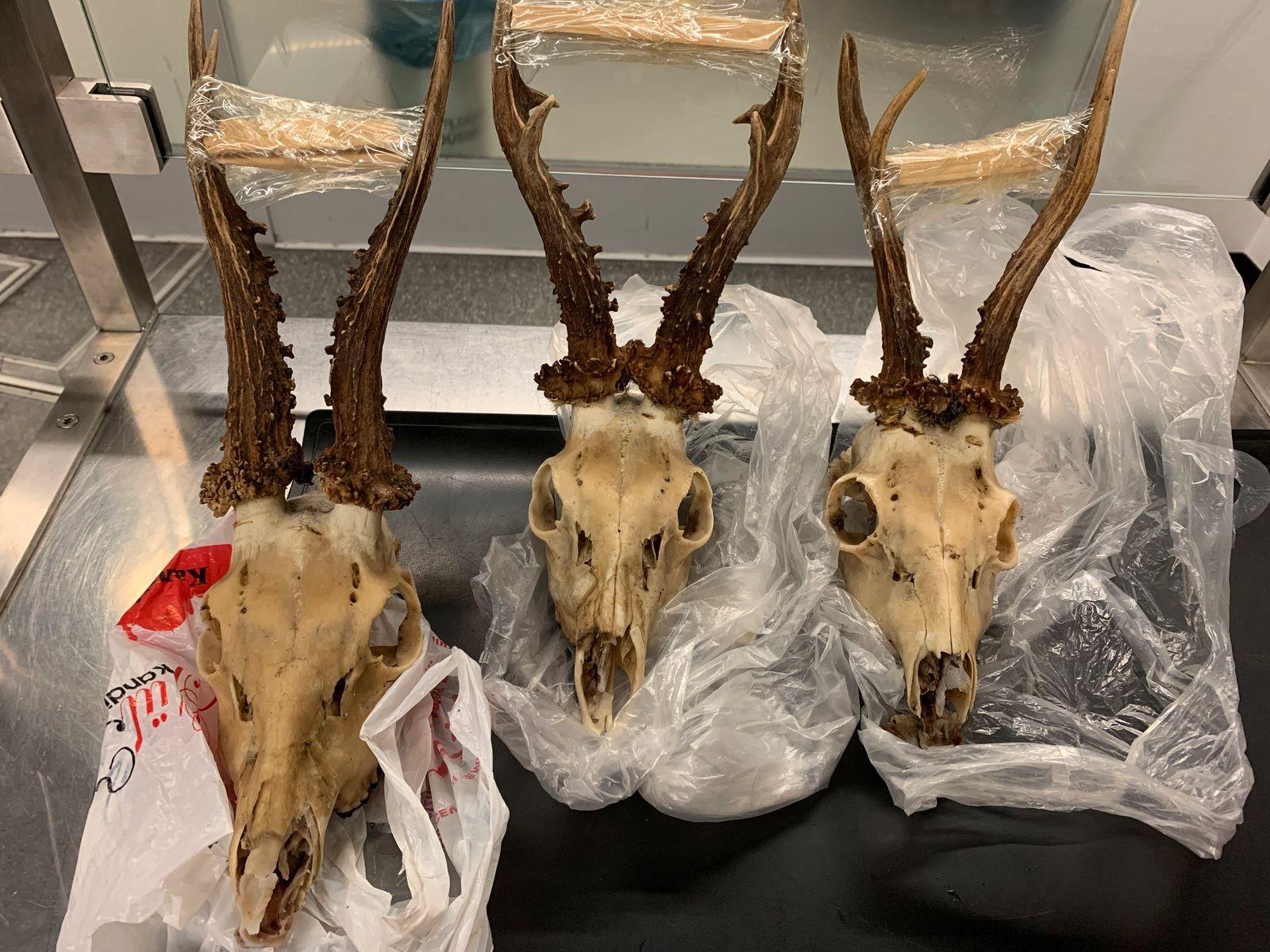 Jäger bringt drei Rehschädel aus Urlaub mit