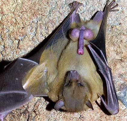 Fledermaus der Art Rousettus aegyptiacus: Hoden wiegen im Schnitt 3,5 Gramm, das Hirn 2,3 Gramm