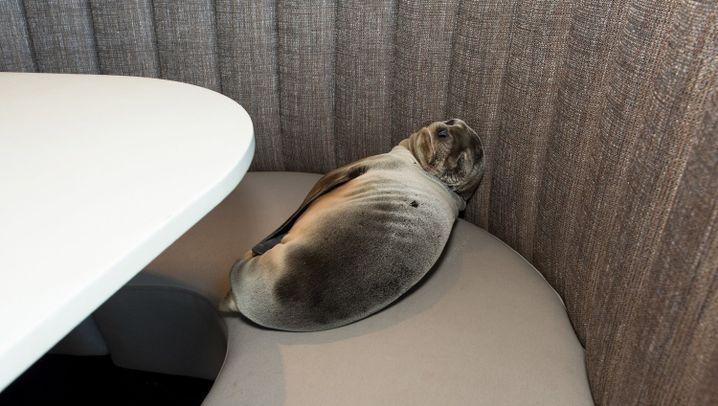 Tier macht Sachen: Seelöwe macht es sich im Strandrestaurant bequem