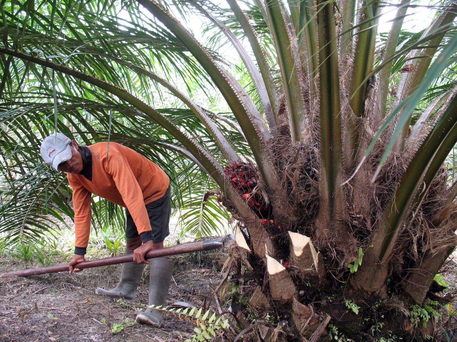 Biotreibstoff-Boom / Palmöl