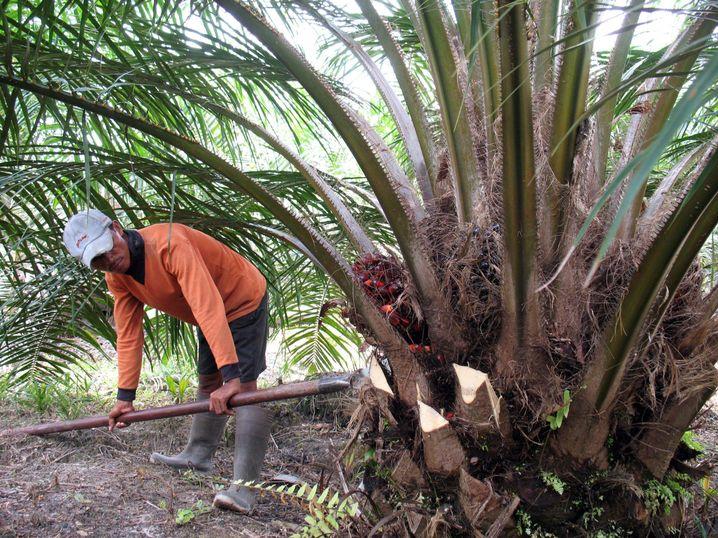 Palmölplantage auf Borneo: Große ökonomische Möglichkeiten in armer Region