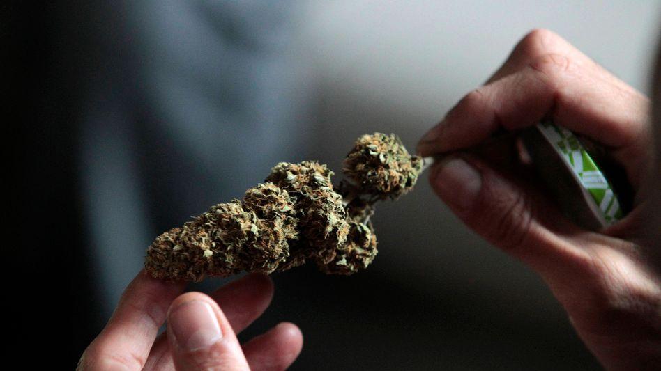 Ein Experte begutachtet eine Marihuana-Probe (Archivbild)
