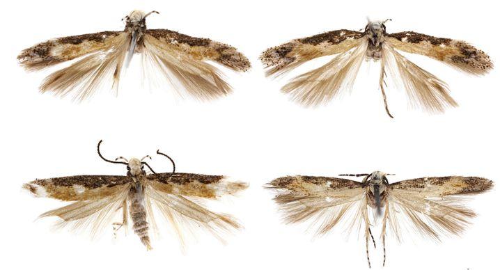 Neopalpa-Motten