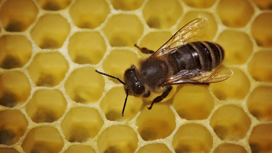Biene läuft über eine Honigwabe: Wirtschaft leidet unter dem Bienensterben