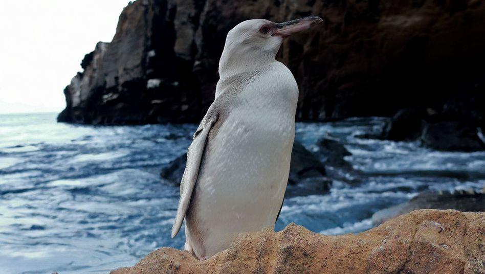 Nach Angaben des Nationalparks wurden Fälle von Albinismus oder Leukismus noch nie bei einem Galapagos-Pinguin festgestellt
