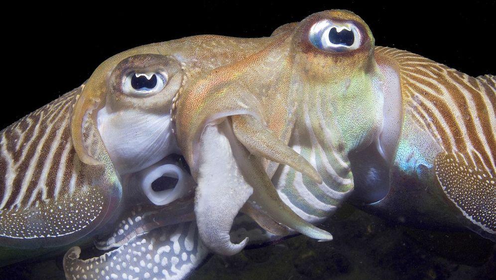 Prämierte Unterwasserbilder: Tintenfisch-Sex und schwimmende Riesen