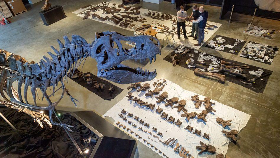Mitarbeiter des Dinosauriermuseums in Denkendorf: 300 Knochenteile für einen T-Rex