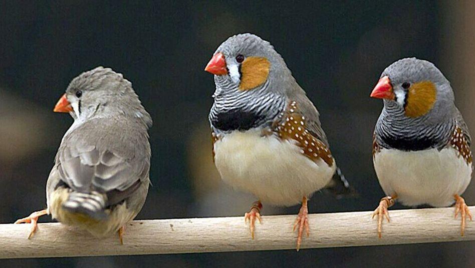 Männliche Zebrafinken (M., r.): Stimuliert lauter Gesang die weiblichen Neuronen stärker?