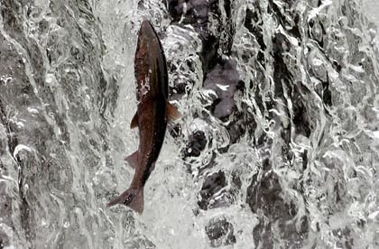 Salmon are good at jumping up small water falls. They have trouble with larger dams.