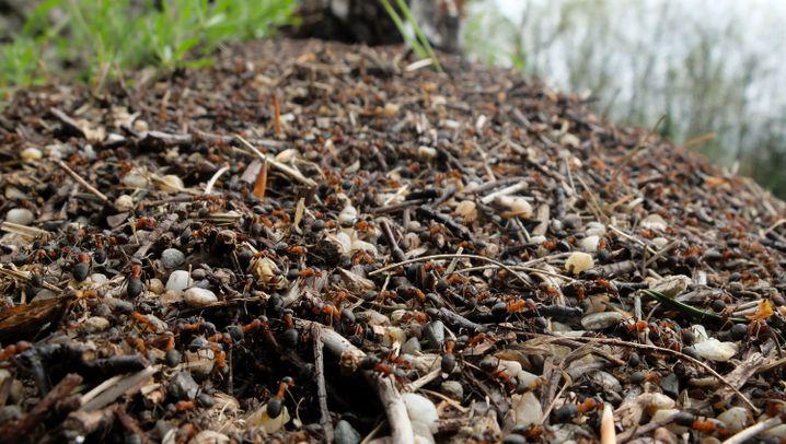 Ameisen in Süddeutschland: Die krabbelnde Plage
