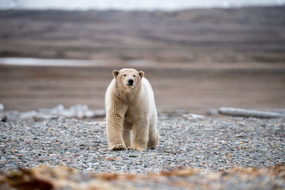 Eisbär im Lomfjord: Fotografieren erlaubt, Jagen streng verboten