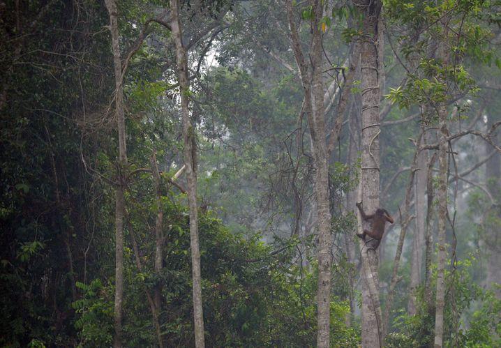 Orang-Utan im Regenwald von Borneo: Bis zu 7000 Tiere sind bedroht
