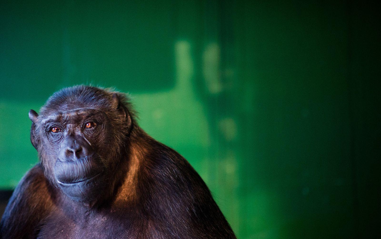 Zirkus-Schimpanse Robby