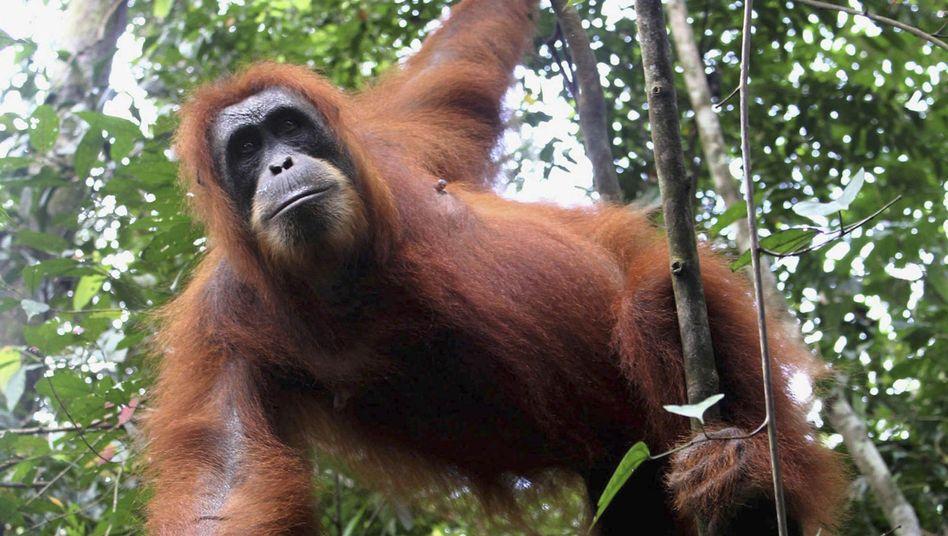 Orang-Utan im Gunung Leuser National Park (Sumatra): Umweltschützer schlagen Alarm
