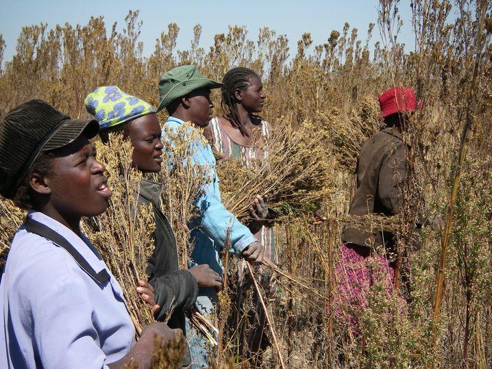 Tagetes minuta gilt als Unkraut – und wächst in Simbabwe bis zu vier Meter hoch