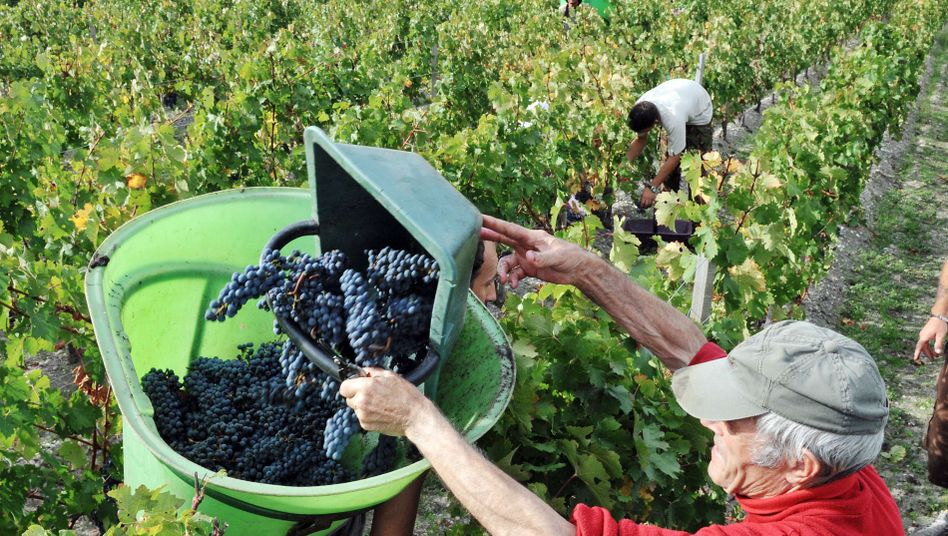 The wine harvest in the Bordeaux region: Global warming poses a threat to the French wine industry.