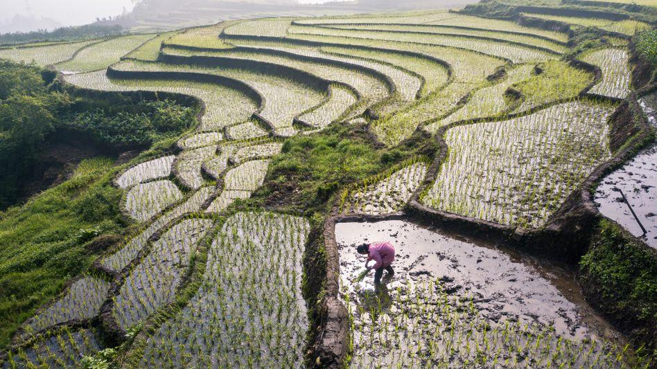 Reissetzlinge in China