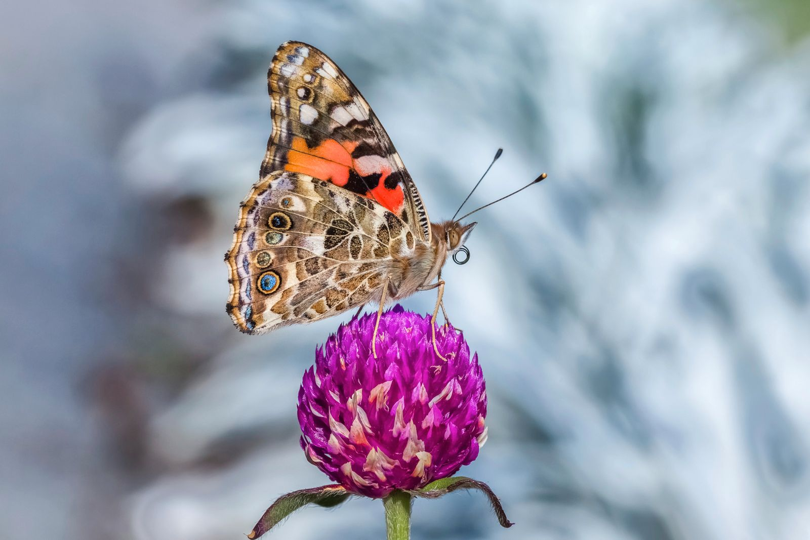 Vanessa Cardui or Belle-Dame and gomphrena.