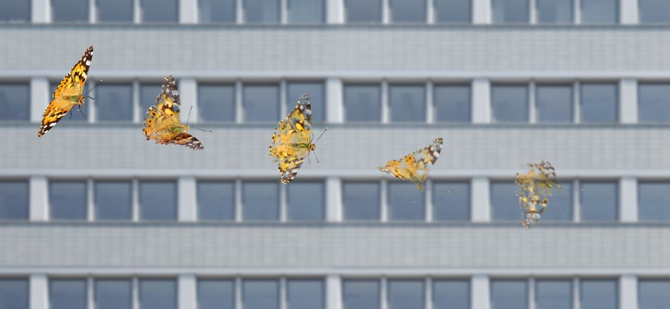 Landlebende Insekten wie Schmetterlinge gingen im globalen Durchschnitt um 0,92 Prozent pro Jahr zurück