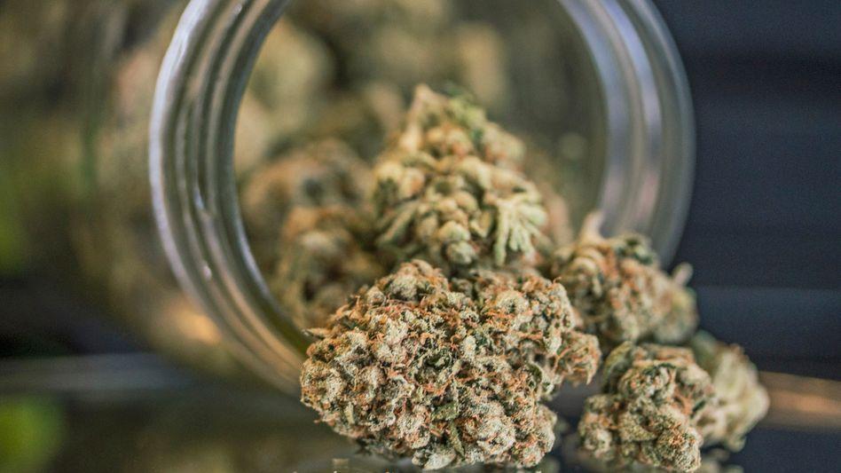 Marihuanablüten: Nicht ungefährlich, aber nicht gefährlich genug