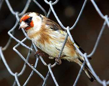 Distelfink: Der Gesang von Singvögeln folgt mathematischen Mustern