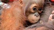 Orang-Utans werden Opfer von Brandrodungen