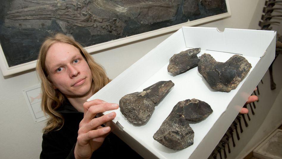 Geologe Stumpf mit Knochen: Überreste eines pflanzenfressenden Sauropoden