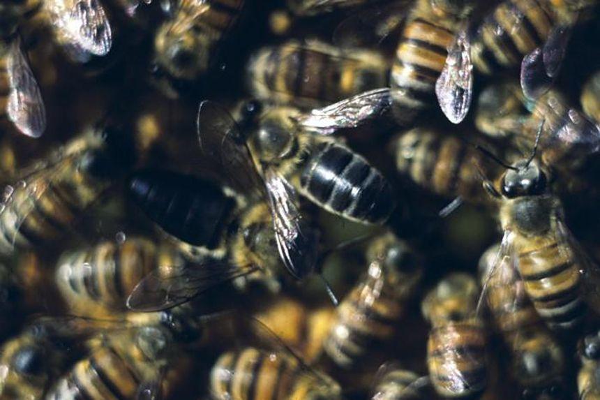 EINMALIGE VERWENDUNG Cape Bees/ Männerlose Bienen