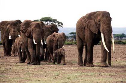 Elefantenherde im Amboseli Tierpark in Kenia: Furchteinflößendes Summen