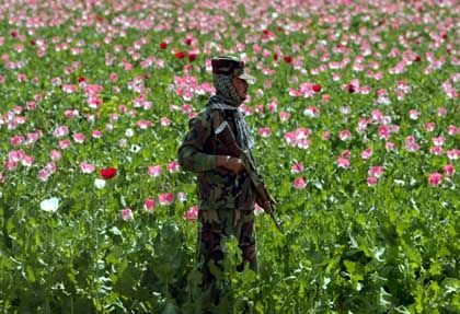 A police official keeps a look-out for aggressive opium farmers amidst their poppy blossoms.