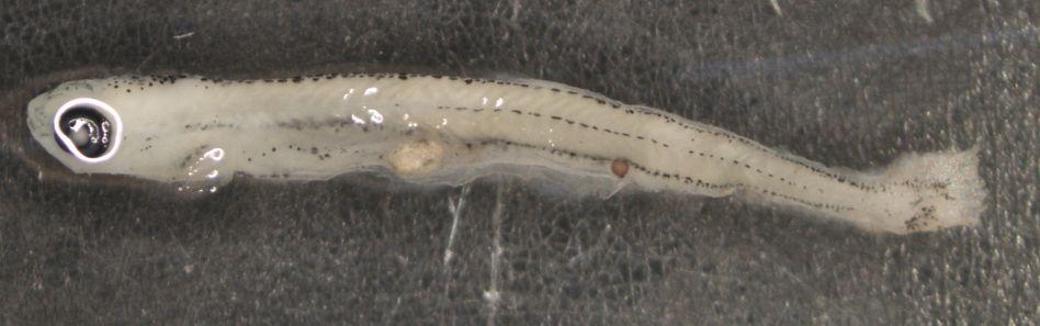 Fischlarve mit Plastikpartikeln im Darmtrakt: Über Fische gelangt Plastik in die Nahrungskette bis zum Menschen