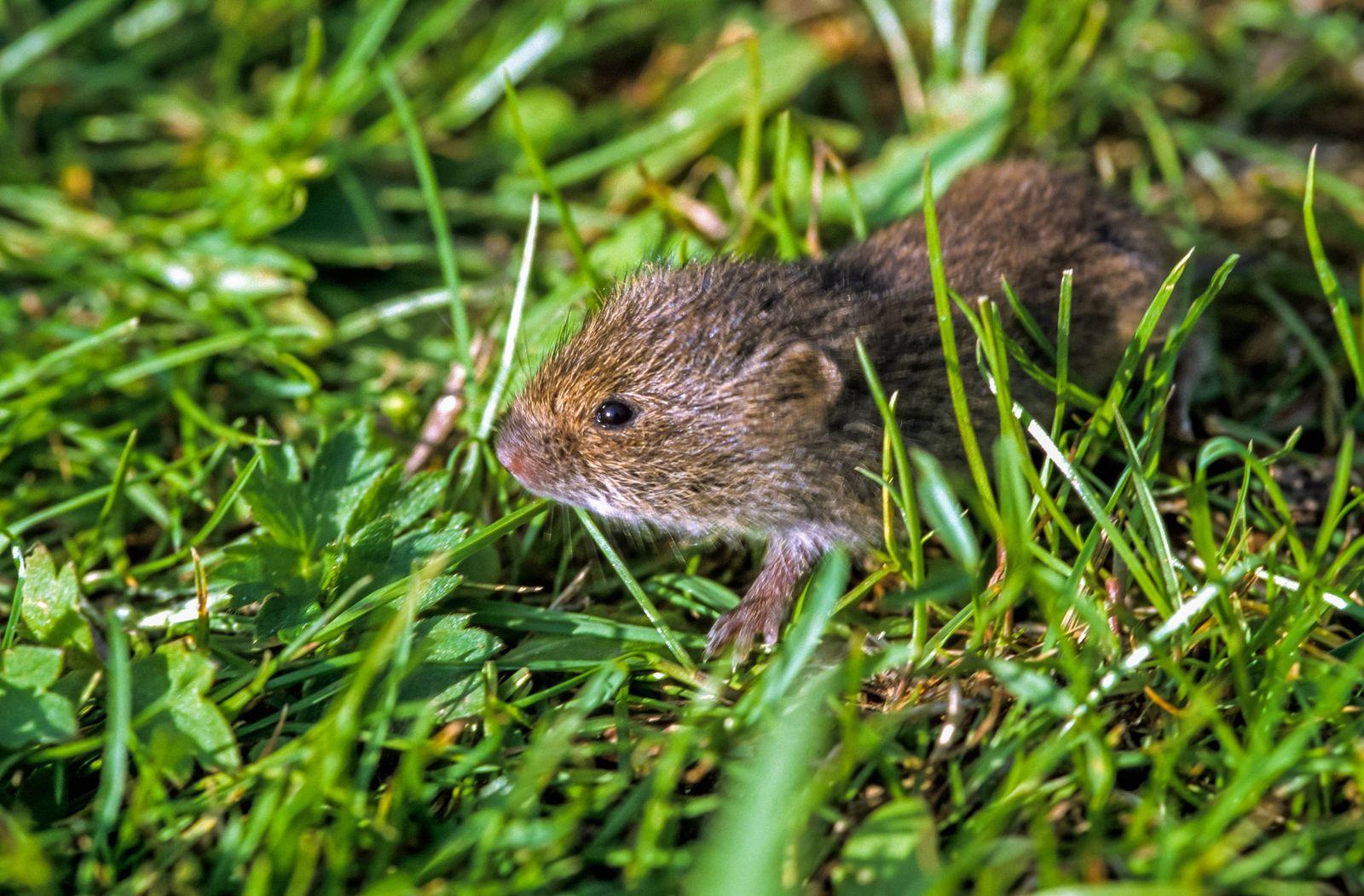 Feldmaus Feld Maus Microtus arvalis auf einer Wiese Deutschland NRW common vole Microtus arva