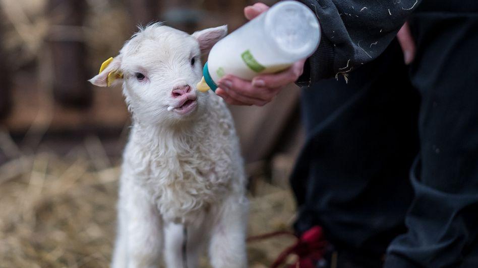 Ein zwei Wochen altes Lamm wir mit der Flasche gefüttert