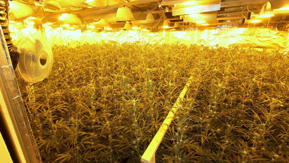 Marihuana-Plantage Bremen