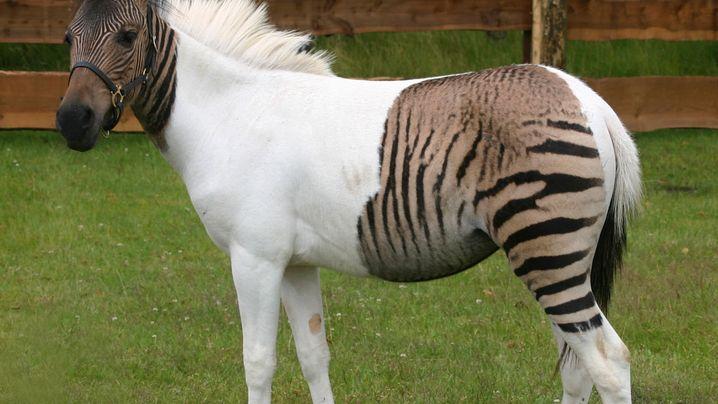 Cama, Ligeon und Zonkey: Verrückte Tier-Kreuzungen