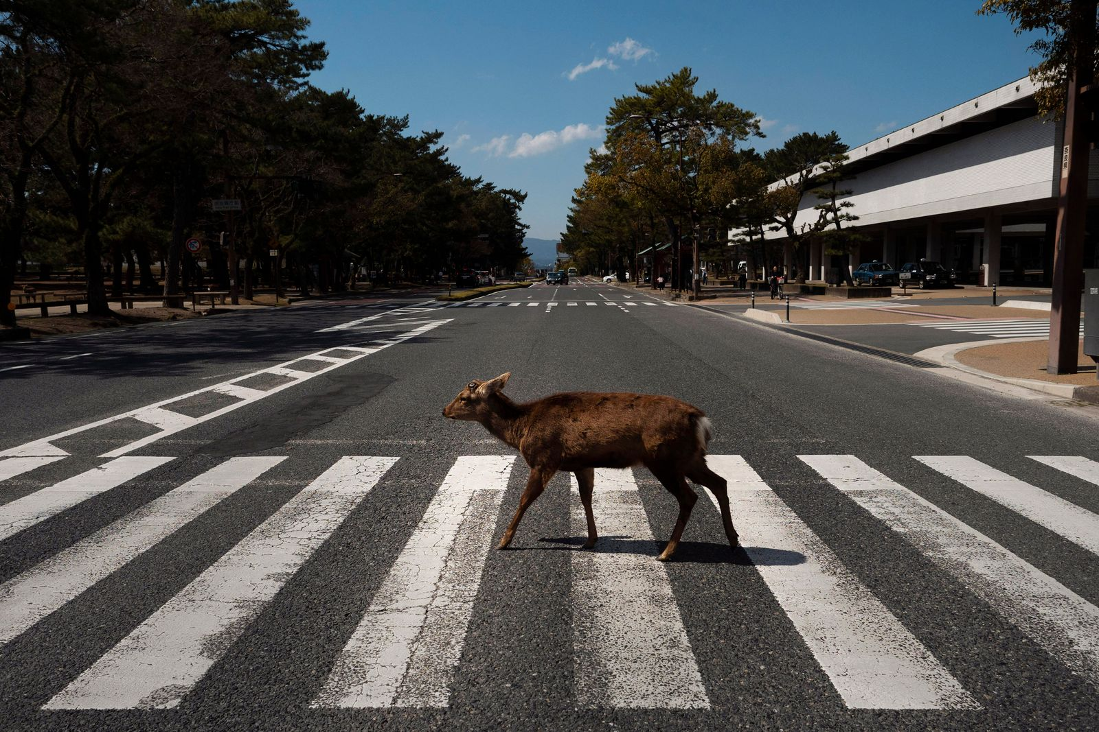 Virus Outbreak Japan Deer Photo Gallery