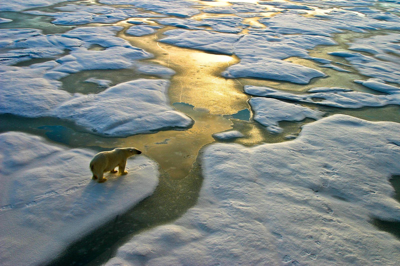 Polar bear on ice close to golden glittering water