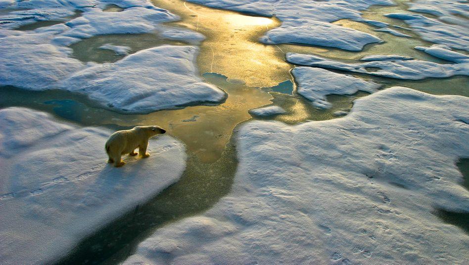 Eisbär in der russischen Arktis: Vom Aussterben bedroht