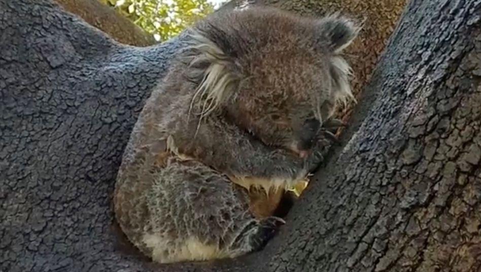 Ein Koala und die Folgen der Hitze in Australien
