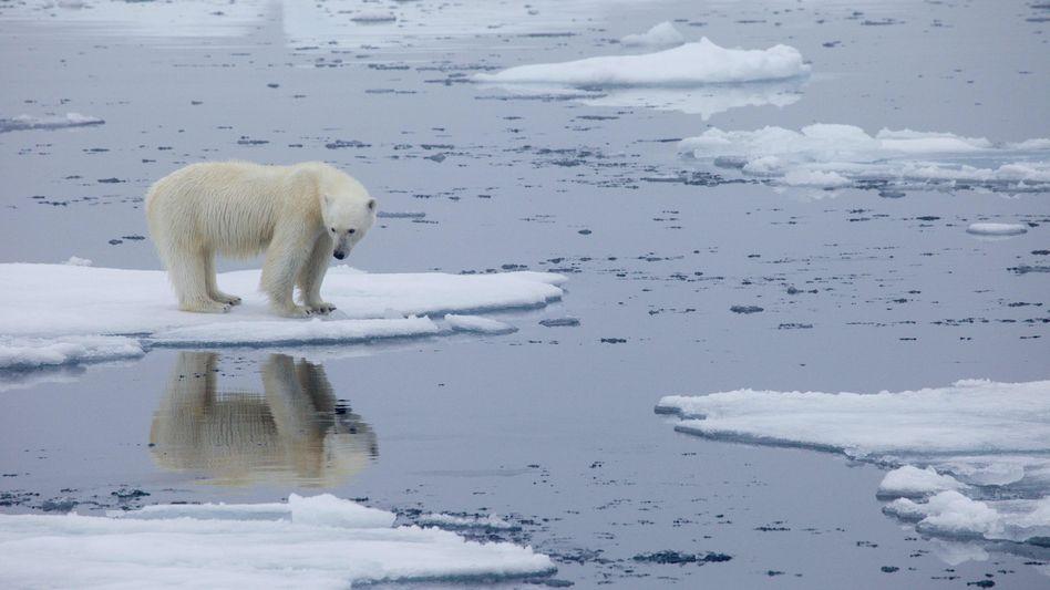 Schmelzendes Eis, schmelzende Zukunft: Zwölf von 13 Eisbär-Populationen dürften laut einer Studie zum Ende des Jahrhunderts nicht mehr existieren