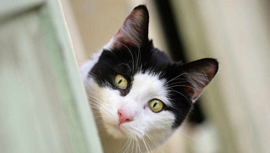 Katze: Die Haustiere haben eine viel stärkere Nahrungsprägung als Hunde - deshalb sollten Katzen nicht fleischlos ernährt werden