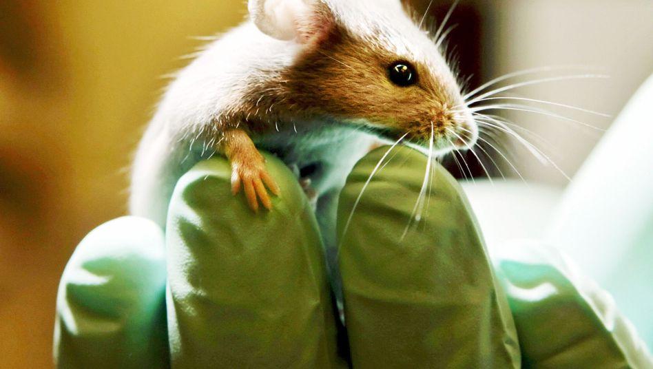 Labormaus: Handy-Strahlung hatte positive Effekte auf die Tiere