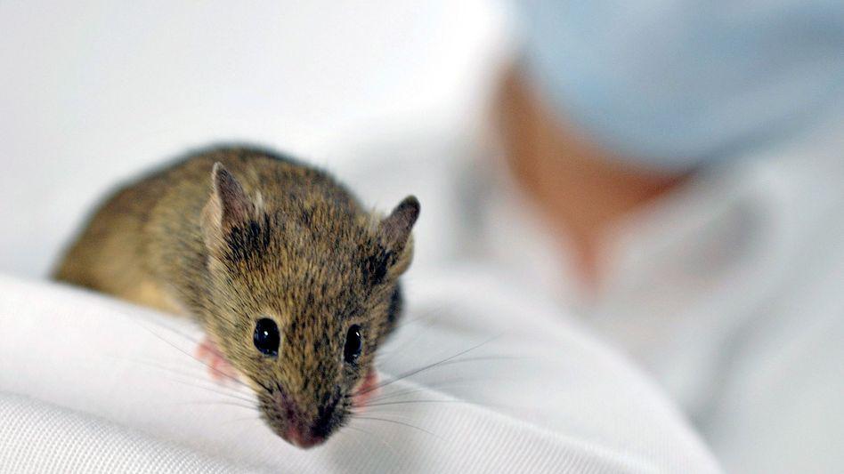 Labormaus (Archivbild): Virenspray repariert Gendefekt