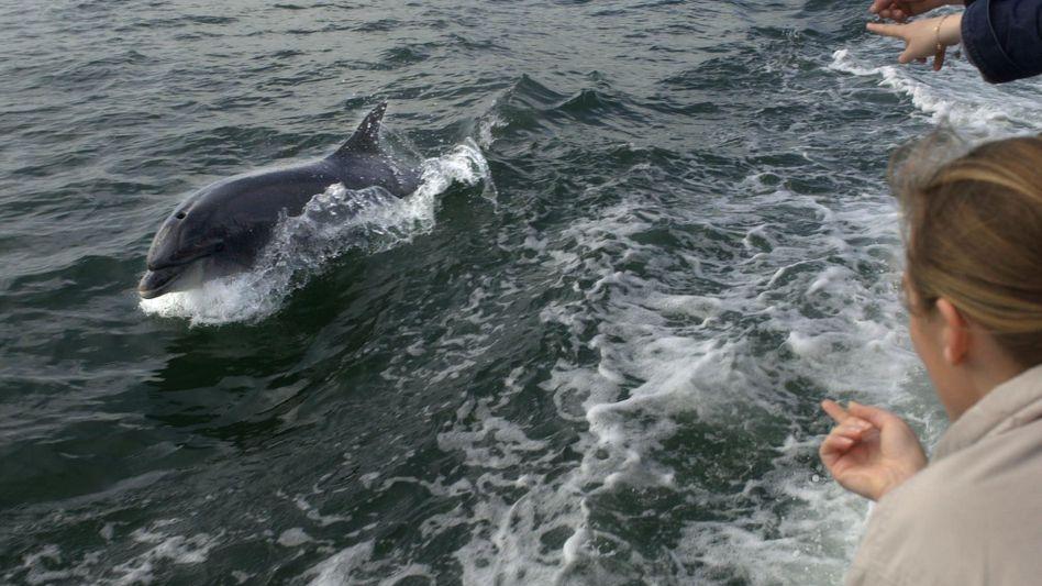 Südwestküste Irlands: Delfin Fungie schwimmt neben einem Boot mit Touristen (Archivbild)