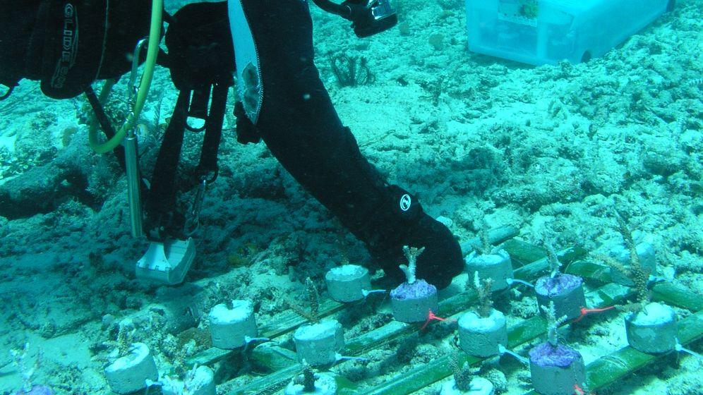 Transplantation im Wasser: Korallen auf Kacheln