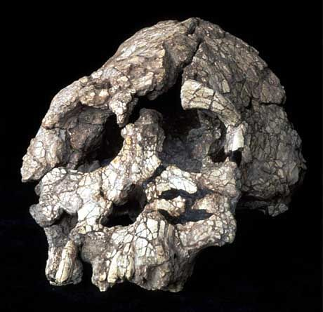 """Vollständiger, etwa 3,5 Millionen Jahre alter Schädel des """"Kenyanthropus platyops"""""""
