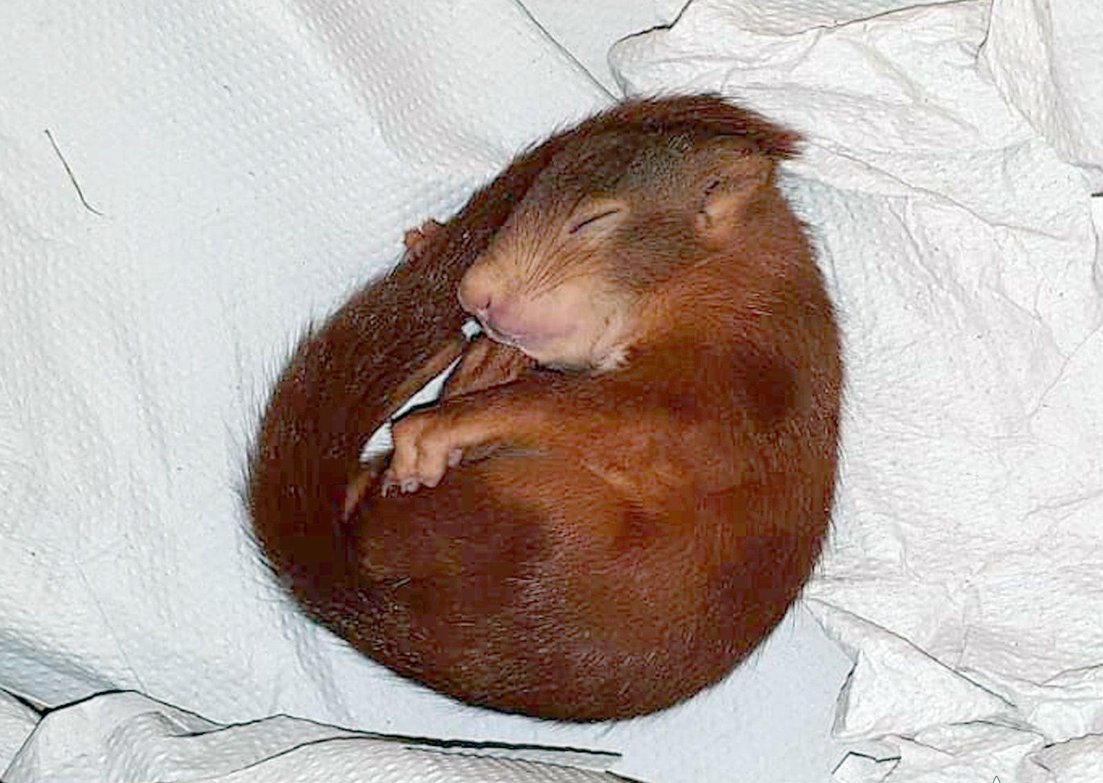Eichhörnchen «Karl-Friedrich» verfolgt Mann inKarlsruhe